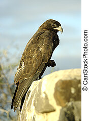 Galapagos Hawk - A close-up of Galapagos Hawk on Galapagos...