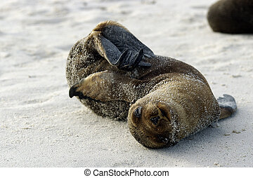 Galapagos seal pup playing in the sand