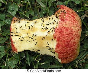 hormigas, y, manzana, núcleo