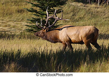 Wapiti 1 - Bull Elk in the rocky mountains