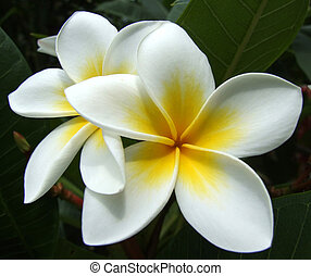 Frangipani - White & Yellow Frangipani