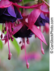 fuchsia flowers - Deep pink and purple fuchsia flowers