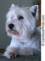 West Highland White  - a west highland white terrier
