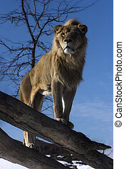 King of Beasts - Lion standing on fallen tree trunk...