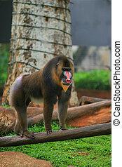 Mandrill Baboon - The Mandrill (Mandrillus sphinx) is a...