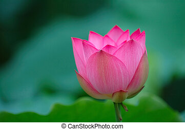 blooming lotus flower with sharp - A blooming lotus flower...