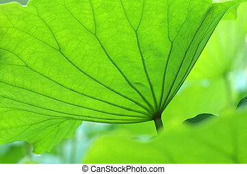 Lotus leaves - The texture of lotus leaves under sunshine