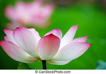 Lotus flower - A shot of blooming lotus flower showing its...