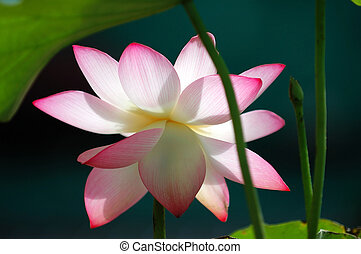 Lotus flower under sun light - A blooming lotus flower over...