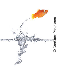 Jumping goldfish - Goldfish is jumping Picture was made in a...