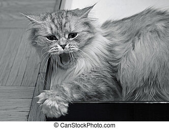 Yawning kitten - The image of yawning kitten in a box. b/w