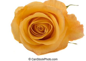 Yellow Rose - A beautiful yellow rose on white background