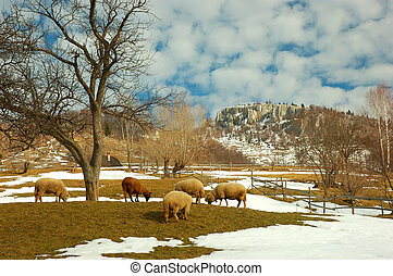 Sheeps and hills - sheeps eating in a great enviroment ,in...