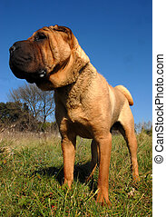 shar pei upright - chinese dog: purebred shar pei