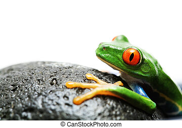 frog on rock. red-eyed tree frog, macro isolated over white...