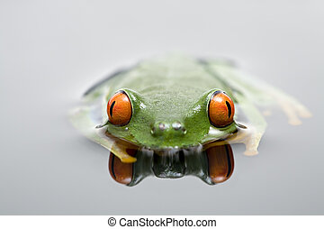 frog in water. red-eyed tree frog in shallow water with...