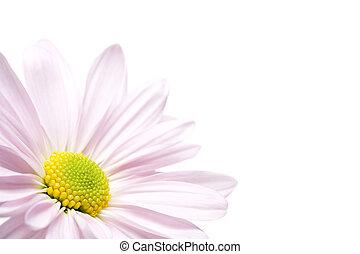 daisy corner isolated
