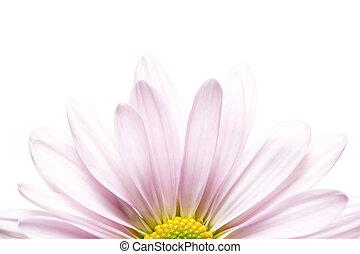 daisy sunrise - soft lavender daisy Chrysanthemum, highkey...