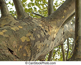 Sycamore Tree Trunk - view of sycamore tree trunk with its...