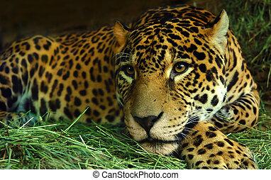Eye of the Jaguar - A Jaguar rests on grass