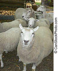 Starring Sheep - Sheep and lamb gathered in pen waiting to...