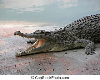鱷魚, 06598