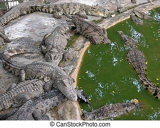 06599, 鱷魚