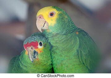 Love Birds - two brightly colored beautiful tropical parrots...
