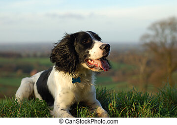 English Springer Spaniel - English springer spaniel sitting...