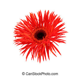 gerbera isolated over white