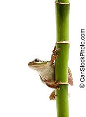 frog on bamboo - frog on green bamboo, macro isolated on...