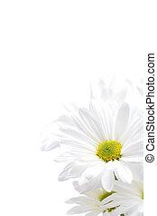 white daisies highkey