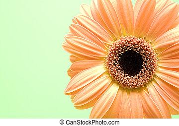 daisy burst