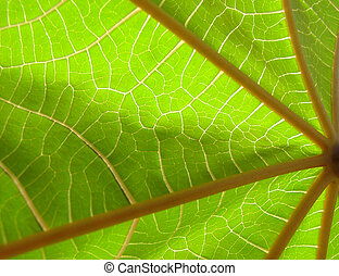 Backlit Leaf close up - Leaf close up