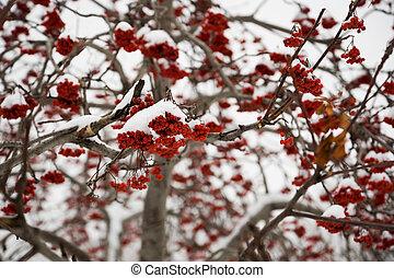 Ashberry under snow