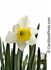 Daffodil - Bright white daffodil with cheerful yellow center