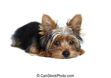 Yorkie - Yorkshire Terrier on white background