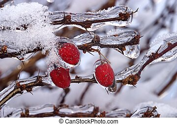 Japanese Barberry - Barberry-Red Leaf Japanese bush frozen...