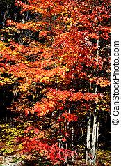 otoño, árboles