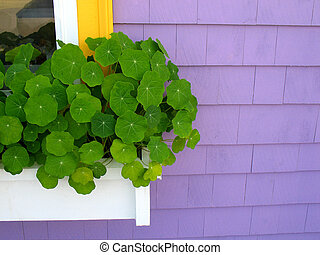 Purple Window Box - Window box with nasturtiums on purple...
