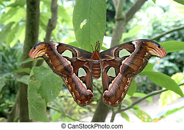 Attica butterfly - Attica giant butterfly