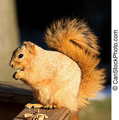 Fox Squirrel  - Cute Blond Fox Squirrel Eating a Walnut