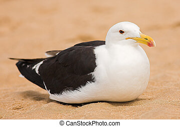 Seagull #13 - Cape Gull (Larus Vetula) brooding on a beach -...