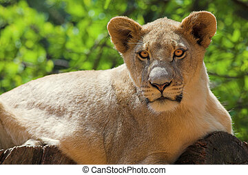 White Lion #2 - Lioness (Panthera Leo) lying down in a tree,...