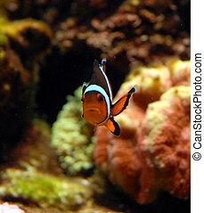 orange clownfish in a tank