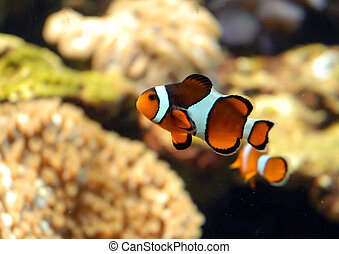 orange fish - orange clown fisk in a tank