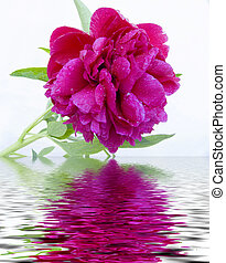 Peony - Red peony after a rain. Close up. Reflection in...