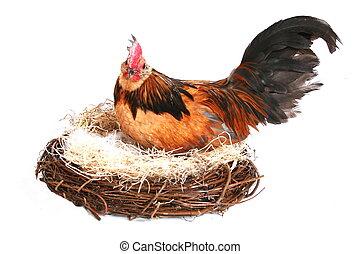 gallo, gallina, casa