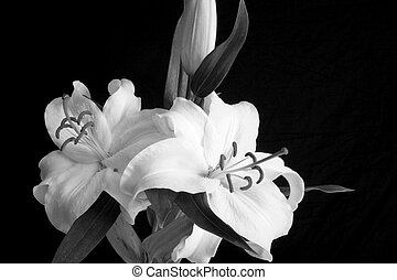 Two White Lillies - Two white lillies are viewed in fine art...