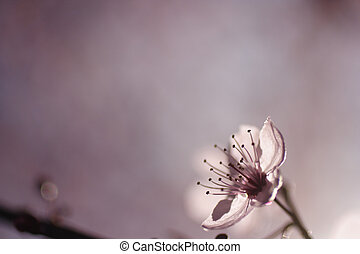 Cherry tree blossom - Backlit cherry tree blossom with...